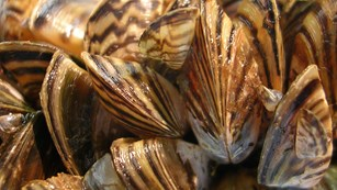 Zebra mussel infestation
