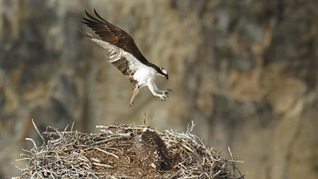 An osprey comes in for a landing on a nest, where its mate tends the nest.