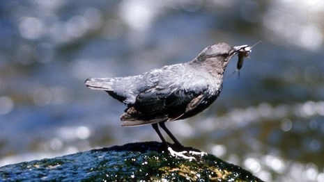 A small, gray bird perched on a rock along a stream holding an insect in its beak.