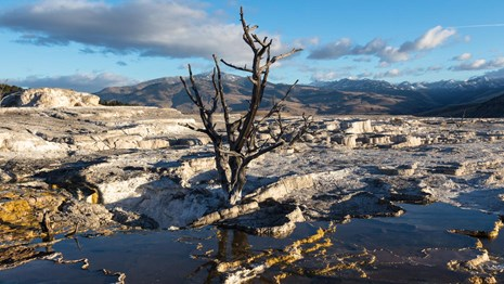 A dead tree reflects clearly on the runoff held by the Upper Mammoth Terraces