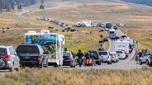 Visitor traffic stretches around a bison jam on the Grand Loop Road in Hayden Valley.