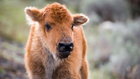 A young bison calf with rust-red fur.