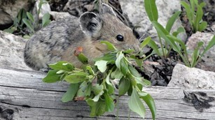 A pika with leafy matter hanging out of mouth