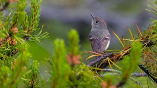 Ruby-crowned kinglet on branch of a pine tree
