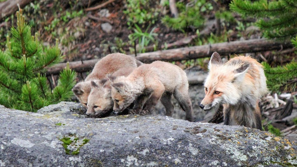 A red fox and kits stand on a rock and lap up some water.