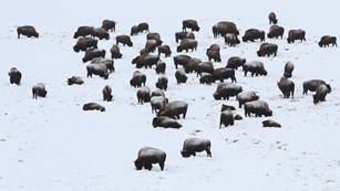 A herd of bison grazing through a snowy hillside.