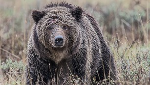 Large grizzly bear staring straight ahead while standing in sagebrush.