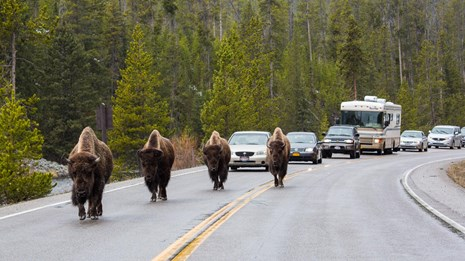 Photo of bison in road