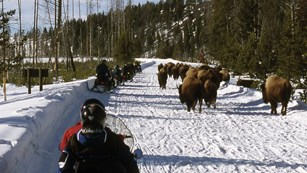 Snowmobilers drive cautiously by a herd of bison on a snow covered park road.