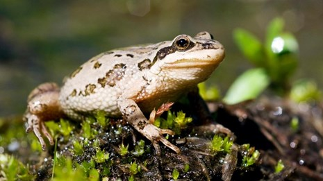 A brown-spotted frog sitting on a moss-covered log