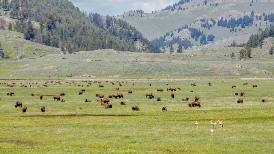Bison and pronghorn grazing in green, grassy plains of with forested hills in the distance.