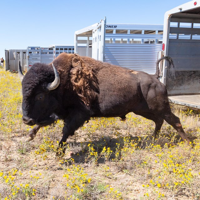 A bison leaping out of a trailer