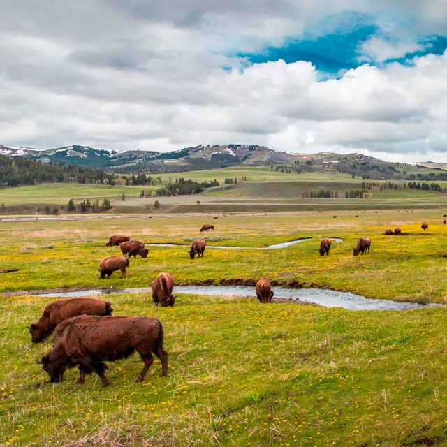 Bison grazing in a vast, green valley