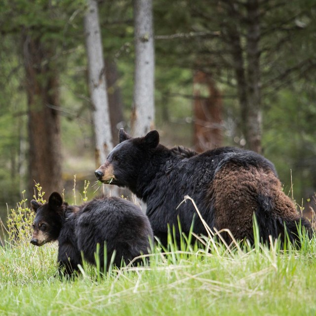 An adult black bear and cub stand in grass near a forest