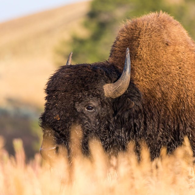 A bull bison grazing in tall grass on the Blacktail Deer Plateau.