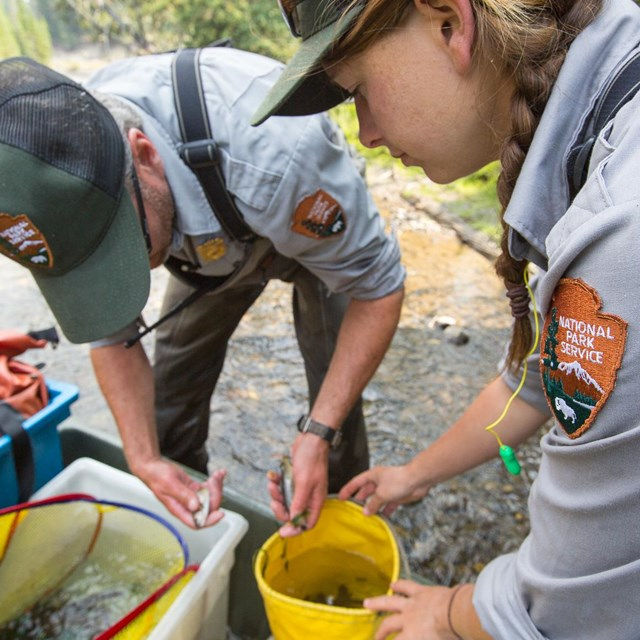 Photo of park employees restoring native fish to Grayling Creek