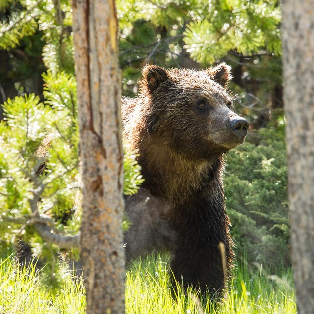 A grizzly bear in a meadow near Swan Lake