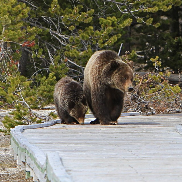 Photo of a grizzly bear and cub on a boardwalk at Old Faithful
