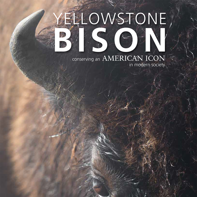 A close up of a bison head and horns