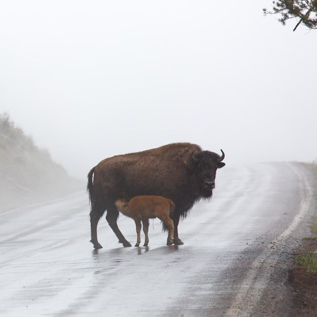 Photo of bison and calf on a road