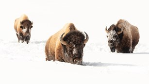 Three bison move through deep winter snows.