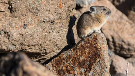 A Pika sits on a rocky ledge