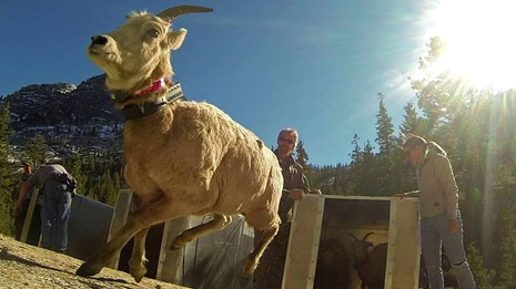 Sierra Nevada Bighorn Sheep getting released in Yosemite.