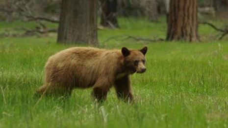 Black bear in Yosemite meadow