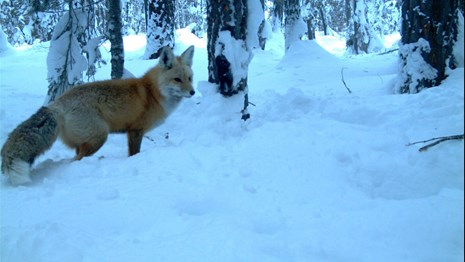 Sierra Nevada red fox in snow caught on a wildlife camera.