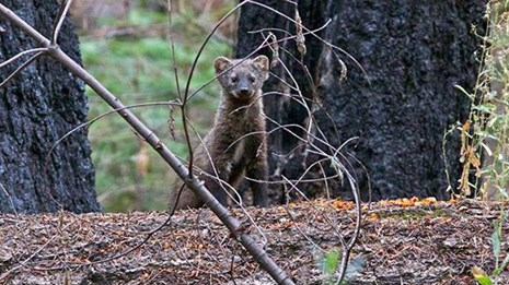 Pacific fisher after being released in Yosemite peering over a log.