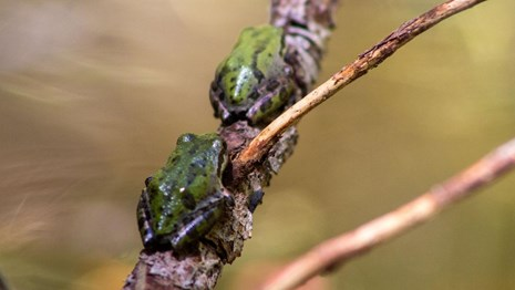 Pacific tree frogs on a branch