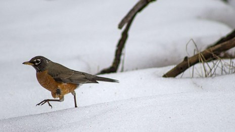 American Robin walking on snow