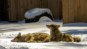 Two coyotes basking in the sun at Housekeeping Camp in winter 2018