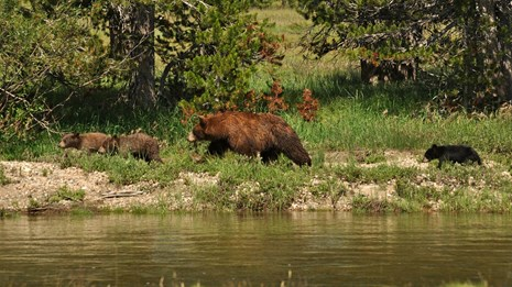 A mother bear and three cubs walk along the edge of a river.