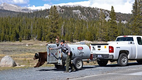 Wildlife management team releases a bear.