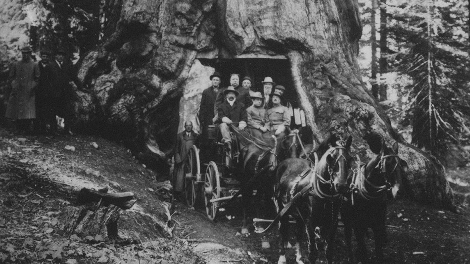 Horse-drawn stage traveling through Wawona Tunnel Tree