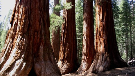 Bachelor and Three Graces in Mariposa Grove