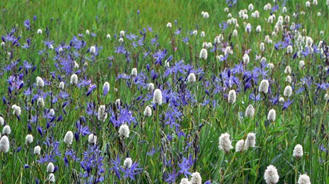 Wildflowers in the Crane Flat area