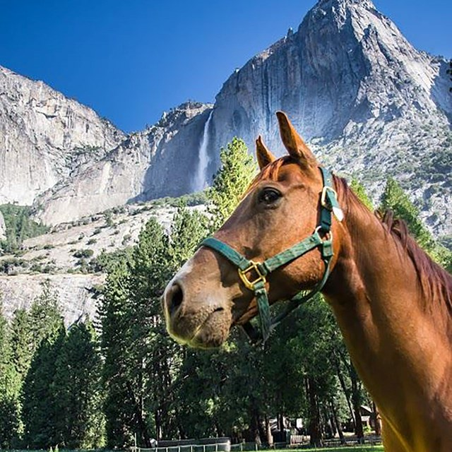 Mule with Upper Yosemite Fall in the background