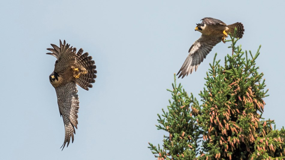 Two peregrine falcons fly from a spruce tree