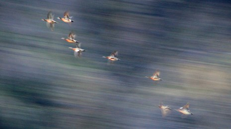 Ducks fly across a bluff above the Yukon River
