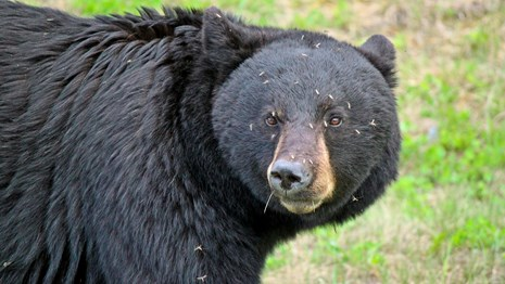 A close-up photo of a black bear with mosquitoes on its face