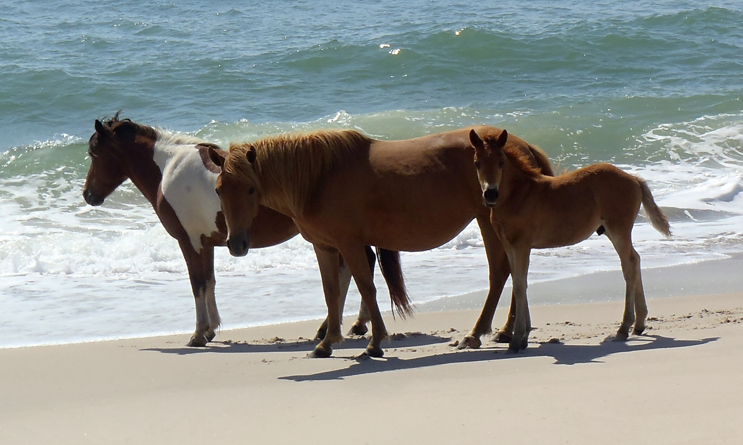 Image result for Assateague Island National Seashore site:.gov