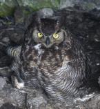 Owl ready to fledge