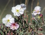 Plants - Oenothera pallida pale evening-primrose