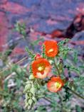 Plants - Sphaeralcea sp globemallow
