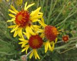 Gaillardia pinnatifida red dome blanketflower