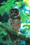 spotted_owl_forest_bird_NPS_Photo