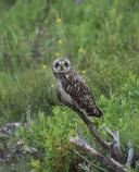 Short-eared owl NPS Photo - Andrea Willingham