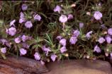Cumberland rosemary is one of the several species of Threatened and Endangered plants found in Big South Fork NRRA.